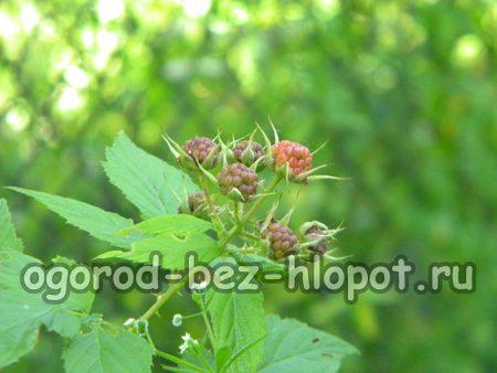 При выращивании черной малины на даче не забывайте поливать кусты