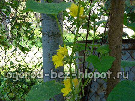 маленьких огурчиков во время выращивания в бочке