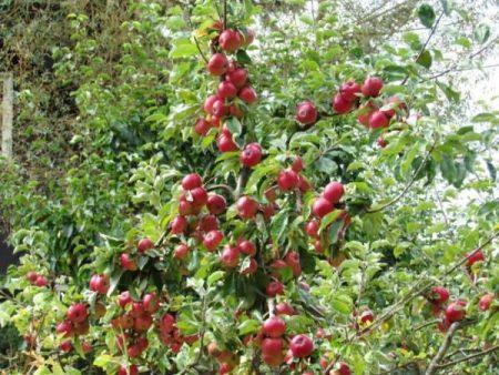 Яблоня Медуница: описание, фото