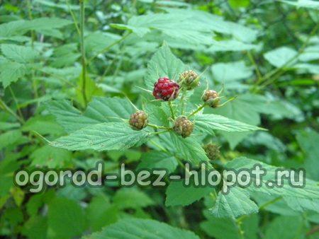 Неспелые ягоды черной малины