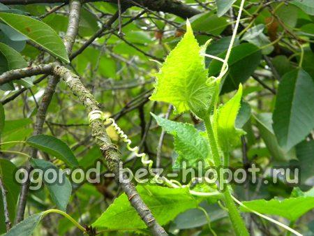 Выращивание огурцов в бочке: посадка и уход