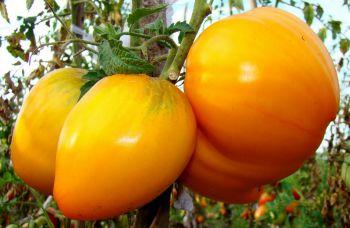 Cемена томатов Cибирской селекции: самые урожайные