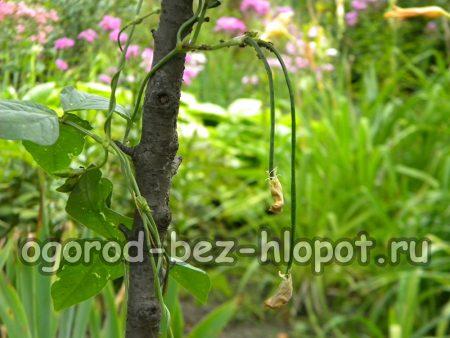 Выращивание вигны