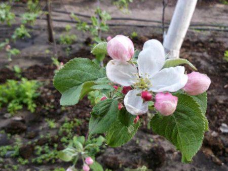 Яблоня Медуница: описание, фото, отзывы