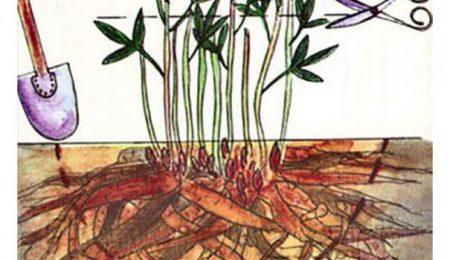 Как пересадить пионы осенью на новое место