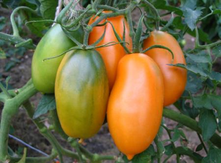 Cемена томатов Cибирской селекции:  урожайные