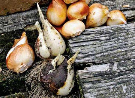 Как хранить луковицы тюльпанов после