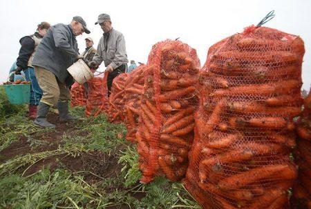 Когда убирать морковь с грядки на зимнее хранение