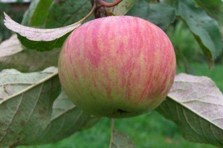 Яблоня Коричное Полосатое: описание, фото
