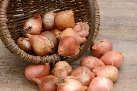 Как хранить луковицы тюльпанов после цветения