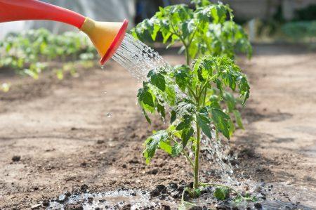 Как поливать помидоры после посадки в теплице
