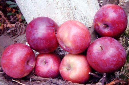 Яблоня Лобо: описание, фото