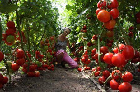 Уход за помидорами в теплице от посадки