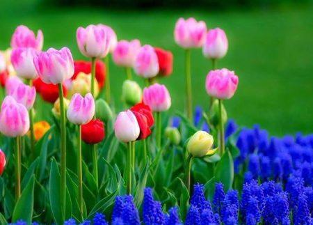Когда сажать тюльпаны осенью в