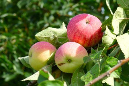 Яблоня Мельба: описание, фото, отзывы