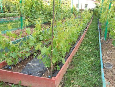 vyrashhivanie-vinograda-v-podmoskove