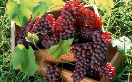 vyrashhivanie-vinograda-v-srednei%cc%86-polose-dlya-nachinayushhix