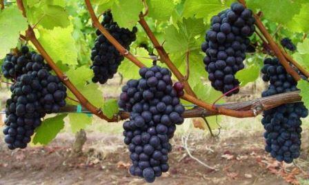 vyrashhivanie-vinograda-v-srednei%cc%86-polose