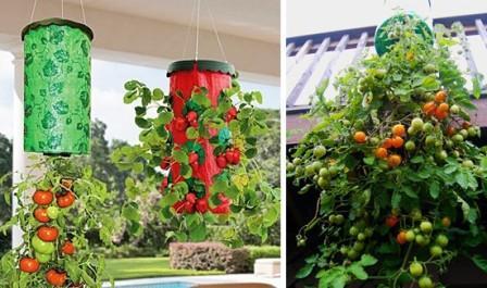 pomidory-vverx-nogami-vyrashhivanie-rastenii%cc%86-v-perevernutom-vide