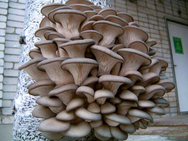 Как приготовить грибы вешенки вкусно на сковороде