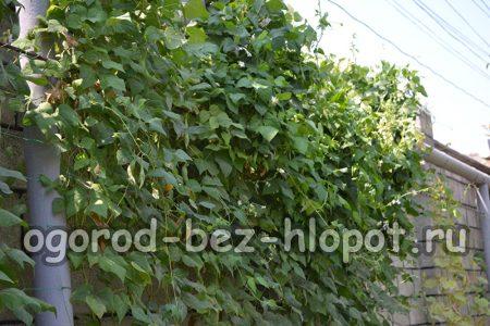 Особенности выращивания и ухода за фасолью в открытом грунте