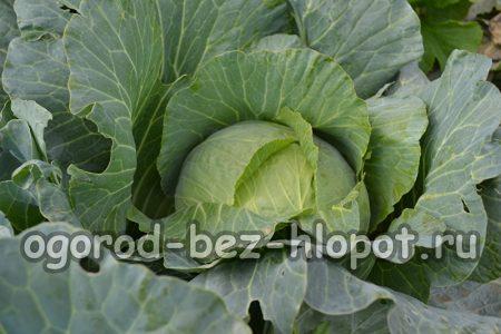 Особенности посадки и ухода за белокочанной капустой