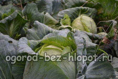 Особенности выращивания белокочанной капусты в открытом грунте