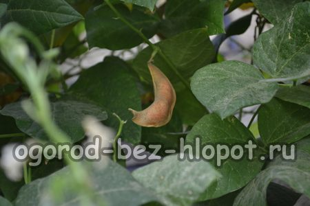 Особенности выращивания стручковой фасоли