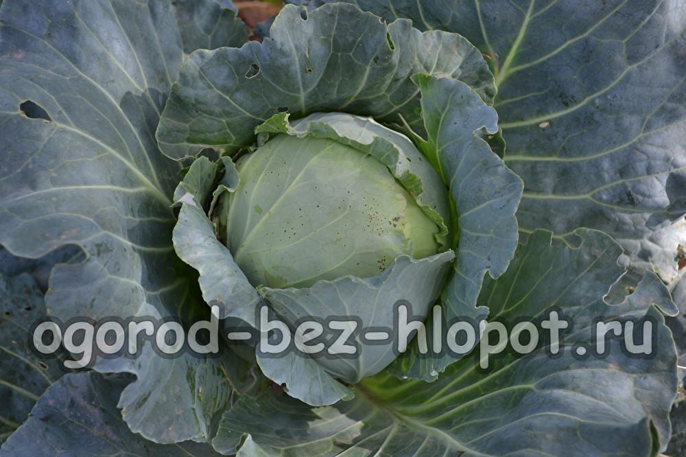 как выращивать белокочанную капусту из семян