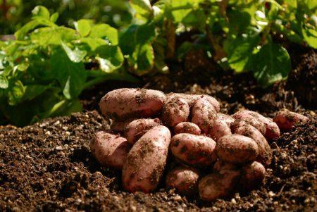 Что сажать после картофеля на следующий год, таблица