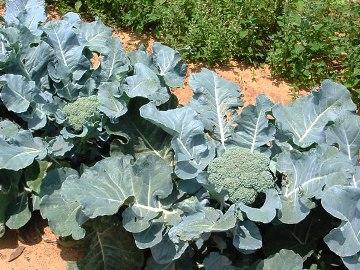 brokkoli-vyrashhivanie-i-uxod