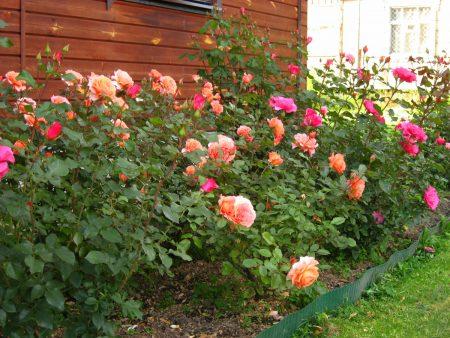 Нужно ли обрывать листья у розы перед укрытием