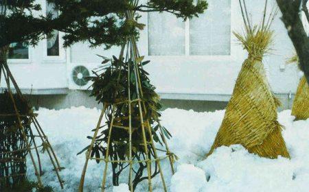 укрытие на зиму древовидного гибискуса