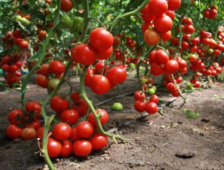 Какие помидоры лучше сажать в теплице