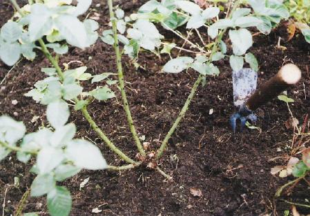 Нужно ли обрывать листья у розы перед укрытием на зиму
