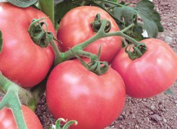 Сорт помидоров Микадо