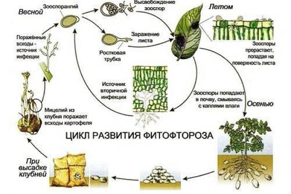 развитие фитофторы