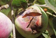 Парша на яблоках опасна для человека