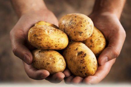 Картофель Удача: описание и характеристика сорта, фото, отзывы