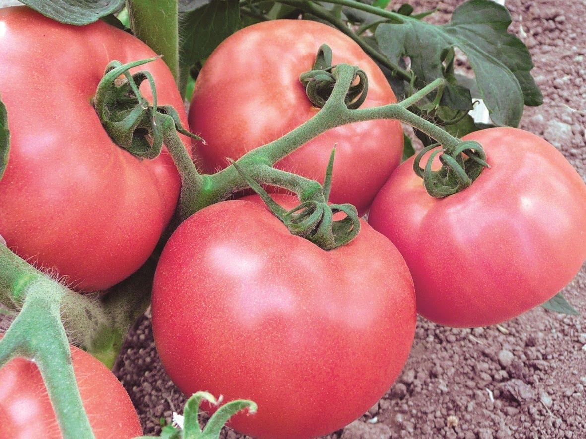 Розовые томаты: популярные сорта для теплиц и открытого грунта