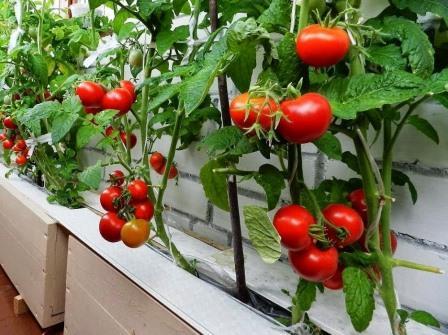 помидоры балконное чудо выращивние