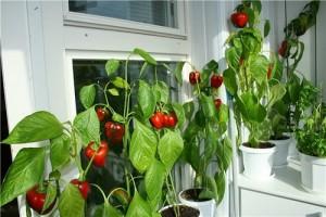 Острый перец на подоконнике: выращивание