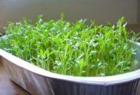 Кресс-салат: выращивание на подоконнике