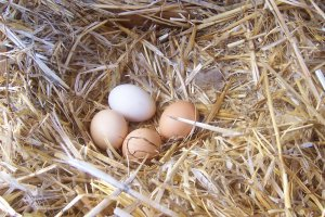 Куры несут маленькие яйца: причины, что делать
