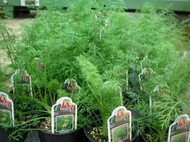 Выращивание зелени дома на подоконнике: укроп, петрушка, лук, зеленый салат