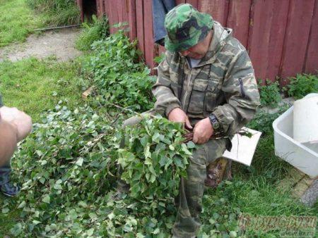 Как правильно вязать дубовые веники для бани