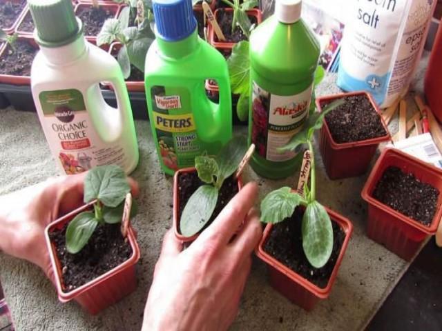 Как опылять огурцы в домашних условиях вручную и нужно ли