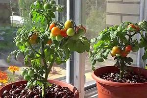 Как вырастить томаты на подоконнике в квартире?