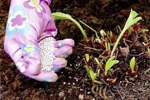 Как подкормить клубнику золой осенью