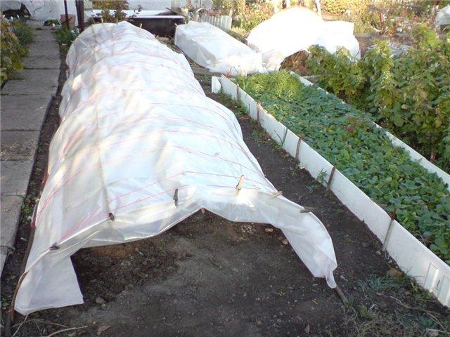 Закрыть клубнику на зиму агроволокном